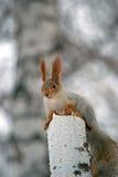 brzozy wiewiórka Obraz Royalty Free