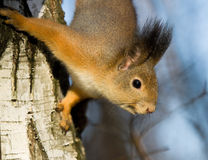 brzozy wiewiórka Obrazy Stock