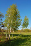 brzozy wiosna drzewo Obrazy Royalty Free