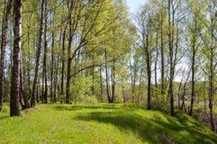 brzozy wzgórza drewno Obraz Royalty Free