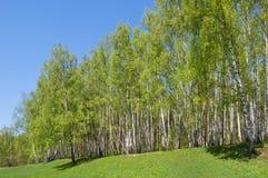 brzozy wzgórza drewno Fotografia Royalty Free