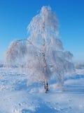 brzozy zima Zdjęcie Stock