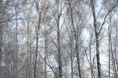 Brzozy zimy lasowy dzień Obraz Royalty Free