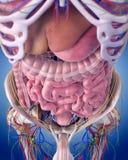 Brzuszna anatomia ilustracja wektor