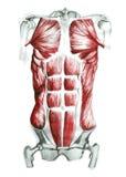 brzuszni mięśnie Fotografia Royalty Free