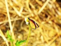 Brzuszny widok agraulis vanillae motyli i kwiat Fotografia Royalty Free