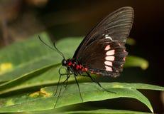 Menchii róża Swallowtail obrazy royalty free