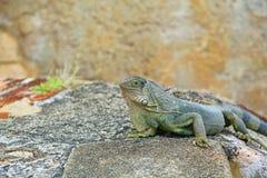brzydka zielona iguana Zdjęcie Stock