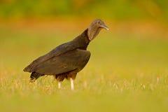 Brzydki czarny ptasi Czarny sęp, Coragyps atratus, siedzi w zielonej trawie, Pantanal, Brazylia Fotografia Stock
