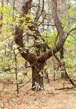 Brzydki Drzewny kształta szkło Fotografia Royalty Free