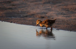 Brzydki kaczątko obraz stock