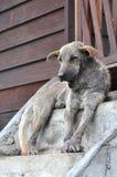 Brzydki Pies Siedzi Tajlandia Zdjęcia Royalty Free