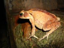 Brzydki pomarańczowy żaby relaksować Zdjęcie Royalty Free