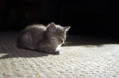 bsay γατάκι Στοκ Εικόνες