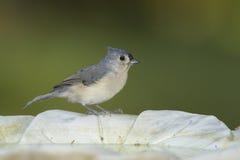 Büscheliger Titmouse auf einem Birdbath Stockfotos