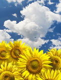 Bstract background with sunflowers Stock Photos