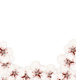 Bstract Border Made in Sakura Flowers Blossom Stock Image