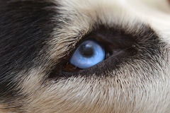 Böswilliger Wolfanblick der Augen schließt oben Lizenzfreie Stockfotos