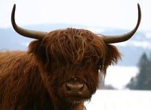 Bétail des montagnes écossais Images libres de droits