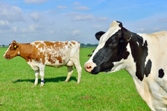 Bétail des vaches dans classé Photos stock
