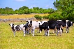 Bétail frisons de vache à Menorca frôlant dans le pré vert Photo stock