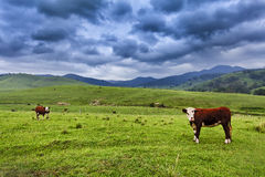 BTops 2 steers. Brown growing steers at green grazing pasture in rural australian agricultural estate as a cattle farm royalty free stock images