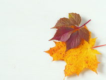 BTwo autumn leaves upon white wooden background. Two autumn leaves upon white wooden background. Copy space for your text Stock Image