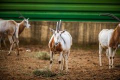 Bułat Uzbrajać w rogi Oryx, Zamyka up Obraz Stock