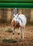 Bułat Uzbrajać w rogi Oryx, Zamyka up Zdjęcie Stock