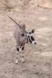 Bułata oryx, uzbrajać w rogi oryx lub Sahara oryx, jesteśmy gatunki once rozlewni przez afrykę pólnocną Oryx Obraz Stock