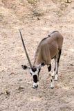 Bułata oryx, uzbrajać w rogi oryx lub Sahara oryx, jesteśmy gatunki once rozlewni przez afrykę pólnocną Oryx Zdjęcia Royalty Free