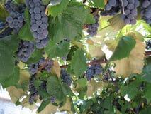 Bułgaria piasków Varna terenu Złoty winogrono Obrazy Royalty Free