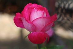 Bułgarska piękna czerwieni róża w Petrich ogródzie od wiosny 2018 Zdjęcie Stock