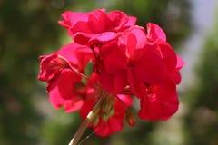 Bułgarski czerwony kwiat w końcówce ciepła jesień na początku Listopadu Stara Zagora kopaliny kąpać się blisko Stara Zagora obrazy royalty free