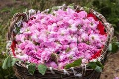 Bułgarskie różowe róże fotografia royalty free