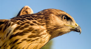 Bu. Close-up of a bird of prey Royalty Free Stock Images