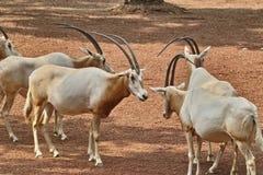 Bułata oryx Fotografia Stock