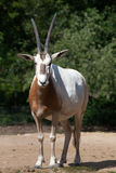 Bułata oryx (Oryx dammah) Fotografia Stock