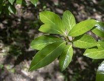 Bu liście Portugal laurowy drzewo w górę obrazy royalty free