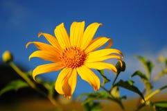 BUA Thong Sunflower. Royalty Free Stock Photos
