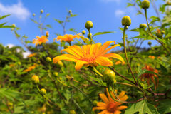 Bua Tong or Mexican sunflower weed Stock Image