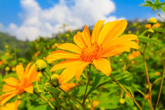 Bua Tong or Mexican sunflower weed Royalty Free Stock Photo