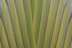 Buaetiful shape of ravenala madagascariensis or traveller`s tree Royalty Free Stock Photography