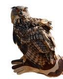 Bubão do bubão da coruja de Eagle em uma mão de um falcoeiro fotografia de stock royalty free