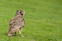 Bubão euro-asiático do bubão da coruja de águia imagens de stock royalty free