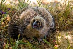 Bubão Horned de Owl Chick Bubo Imagens de Stock Royalty Free