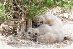 Bubón del bubón de los polluelos del búho de Eagle Imagenes de archivo