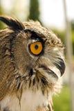 Bubón del bubón del búho de los males de ojo Fotografía de archivo libre de regalías