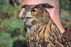 Bubón eurasiático del bubón del Eagle-búho Fotos de archivo libres de regalías