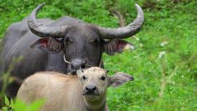 Bubalis bubalus βούβαλων νερού που βόσκουν με το μόσχο Πορτρέτο της μητέρας και του παιδιού αγελάδων στη φύση φιλμ μικρού μήκους